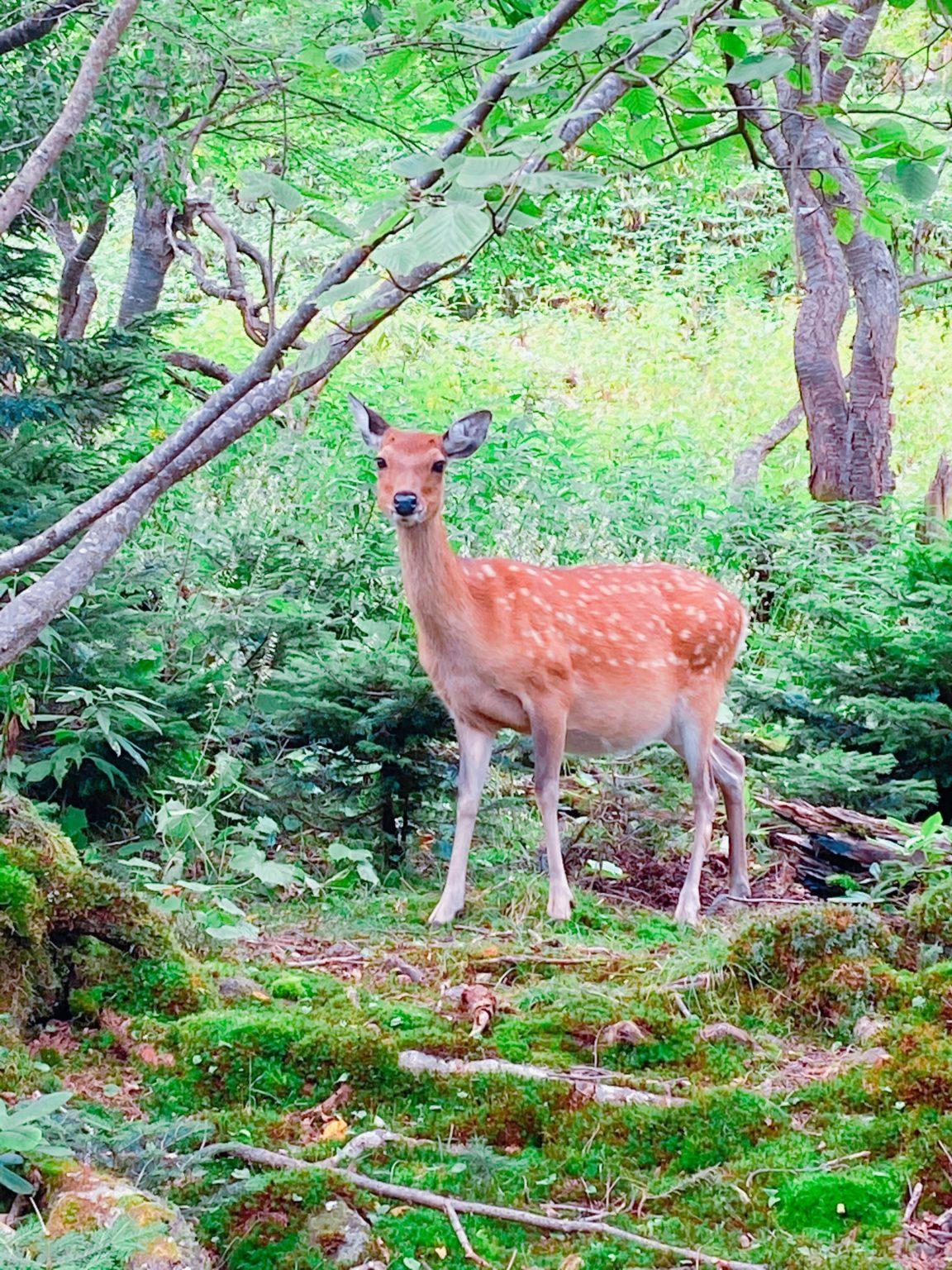 白根山の鹿です。